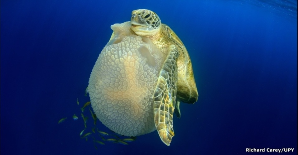 19.fev.2016 - Um mergulho matinal nas ilhas Similan deu a Richard Carey a oportunidade de tirar esta foto de uma tartaruga comendo uma água-viva. A imagem venceu na categoria Comportamento Internacional