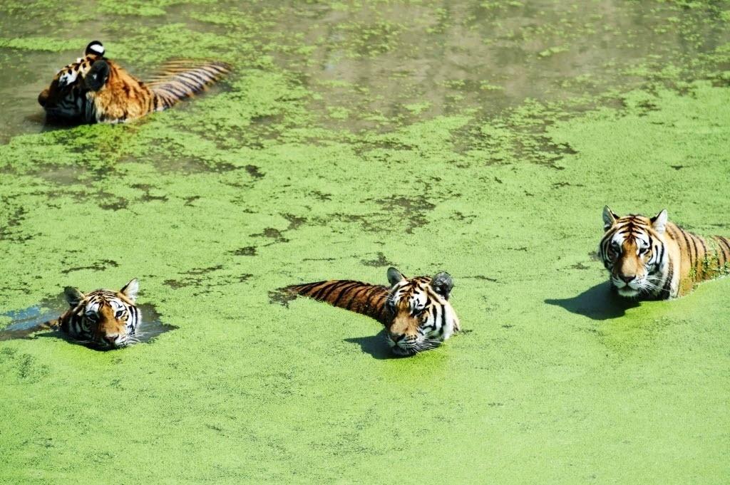 4.ago.2016 - Tigres siberianos se refrescam em uma lagoa no zoológico de Harbin, na China