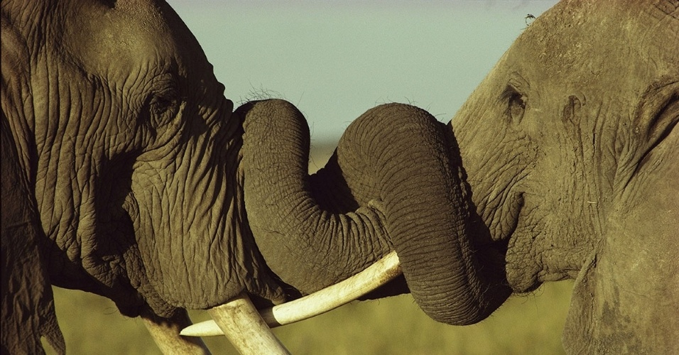 Elefantes no Parque Nacional de Amboseli, no Quênia. Elefantes usam suas trombas, compostas por mais 40 mil músculos, para fazer tudo, desde comer e beber até para o banho