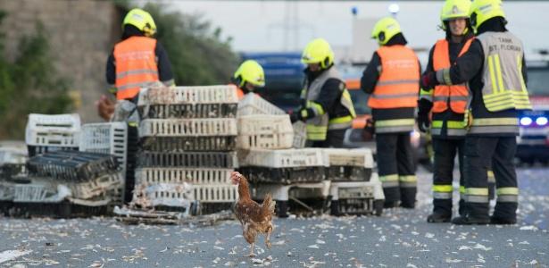 Bombeiros tentam retirar galinhas da estrada em Asten, Áustria