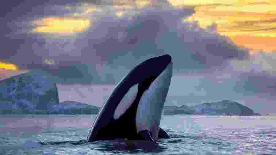 Durante o verão de 2020, um grupo de orcas causou pelo menos 40 incidentes na costa da Espanha e de Portugal - AUDUN RIKARDSEN