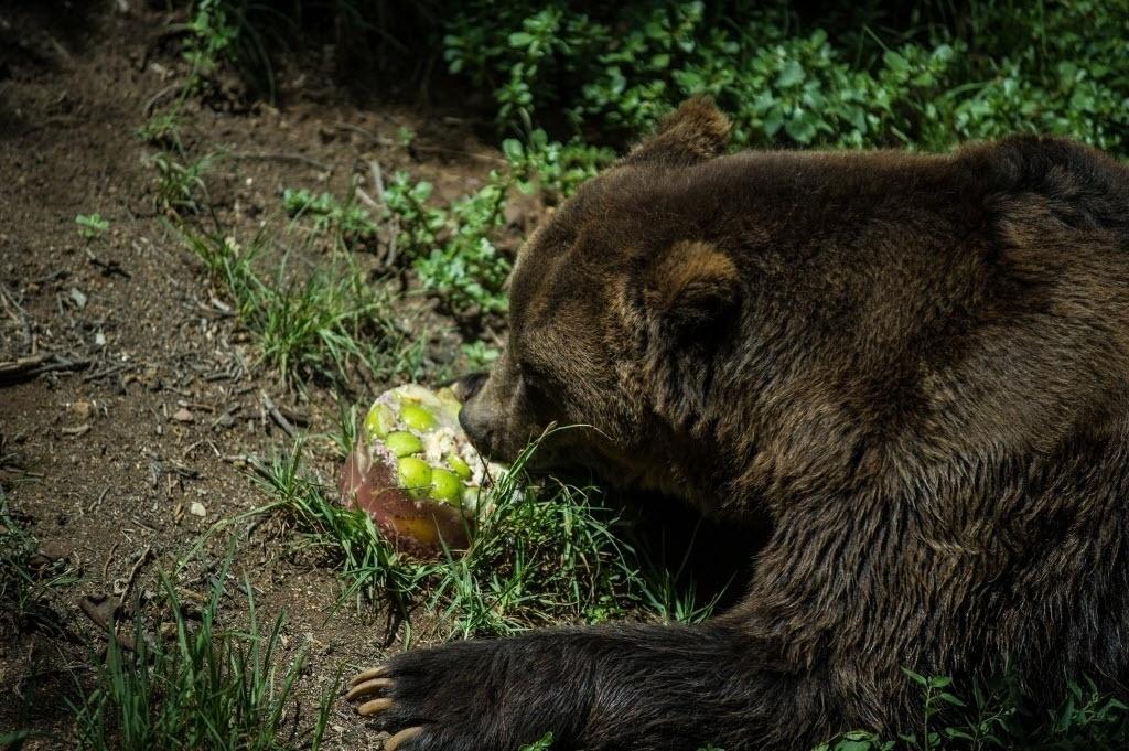 13.jan.2016 - Um urso come um sorvete feito com frutas e carnes congeladas para se refrescar em dia quente no zoológico de Joanesburgo, na África do Sul