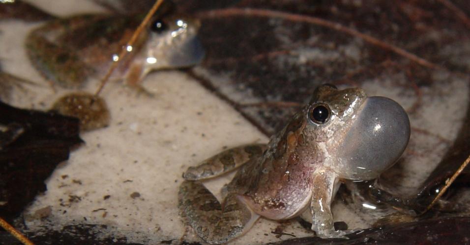 """15.jul.2016 - Uma nova espécie de anfíbio chamada """"Pseudopaludicola jaredi"""" foi descoberta por brasileiros. O animal é minúsculo. Para se ter uma ideia do tamanho, o macho da espécie mede em média 1,54 centímetros enquanto uma moeda de R$ 1 tem 2,7 centímetros. Até o momento, os sapos foram encontrados em Viçosa do Ceará (CE) e em Nísia Floresta (RN). O nome da espécie, já publicada no periódico alemão Salamandra, foi dado em homenagem ao biólogo Carlos Jared, do Instituto Butantan, em São Paulo"""