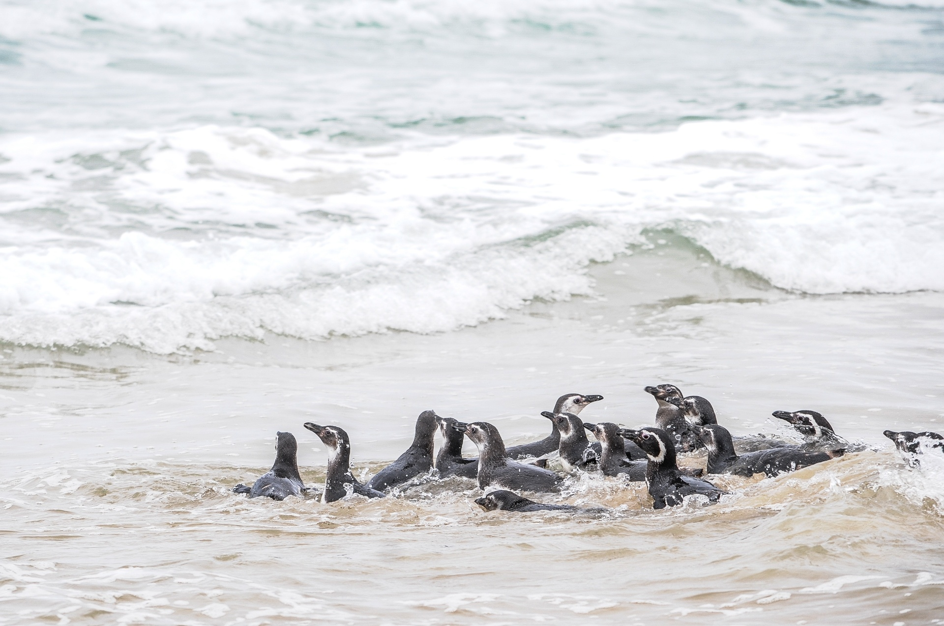 10.out.2016 - Pinguins reencontram mar após tratamento em Florianópolis (SC)