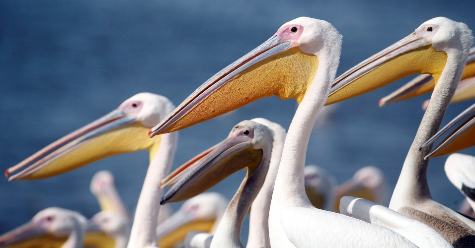 13.out.2016 - Grandes pelicanos brancos nas águas de um lago são alimentados por funcionários do parque da natureza, durante a época de migração, em Mishmar Hasharon, em Israel