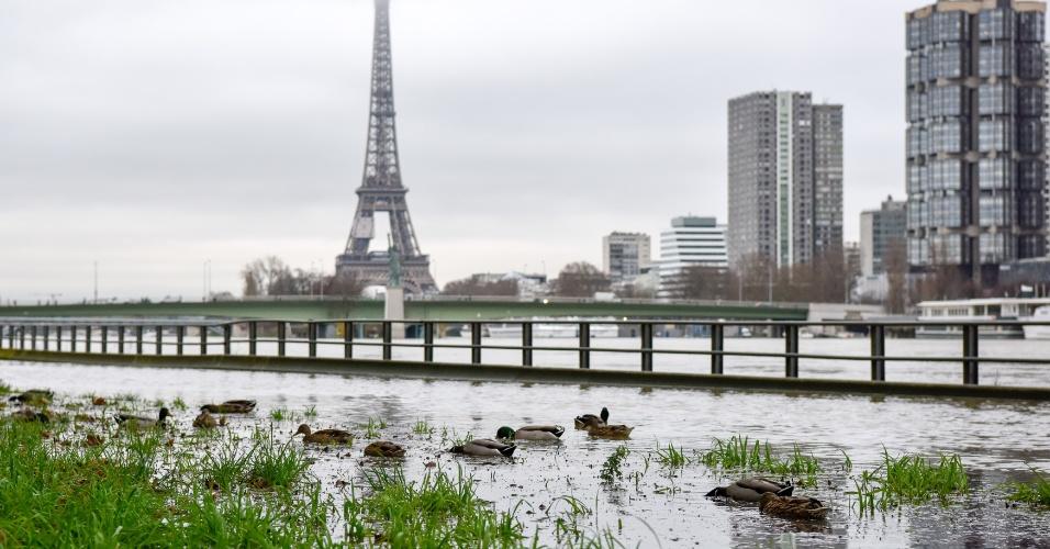 23.jan.2018 - Patos são vistos na margem inundada do rio Sena, em Paris