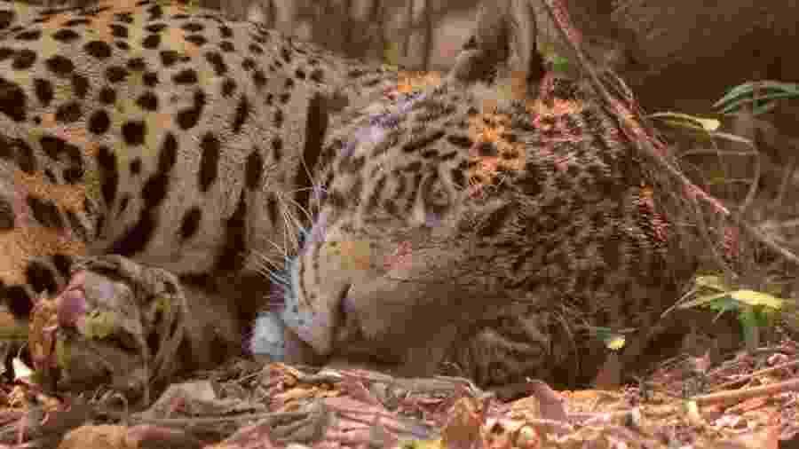 Foto de onça-pintada no Parque Estadual Encontro das Águas, no Pantanal, viralizou nas redes sociais - AILTON LARA via BBC