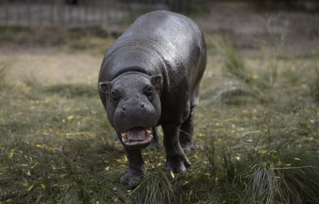 """24.jun.2016 - Um hipopótamo """"sorri"""" para foto no zoológico de Buenos Aires, na Argentina. A prefeitura lançou na última quinta-feira (23) um projeto para transformar seu zoológico, uma bela construção do século 19, em um moderno eco parque, o que implicará no traslado da maioria dos seus 1.500 animais"""
