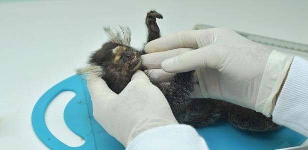 Veterinária examina macaco morto no Instituto Municipal de Medicina Veterinária, no Rio de Janeiro