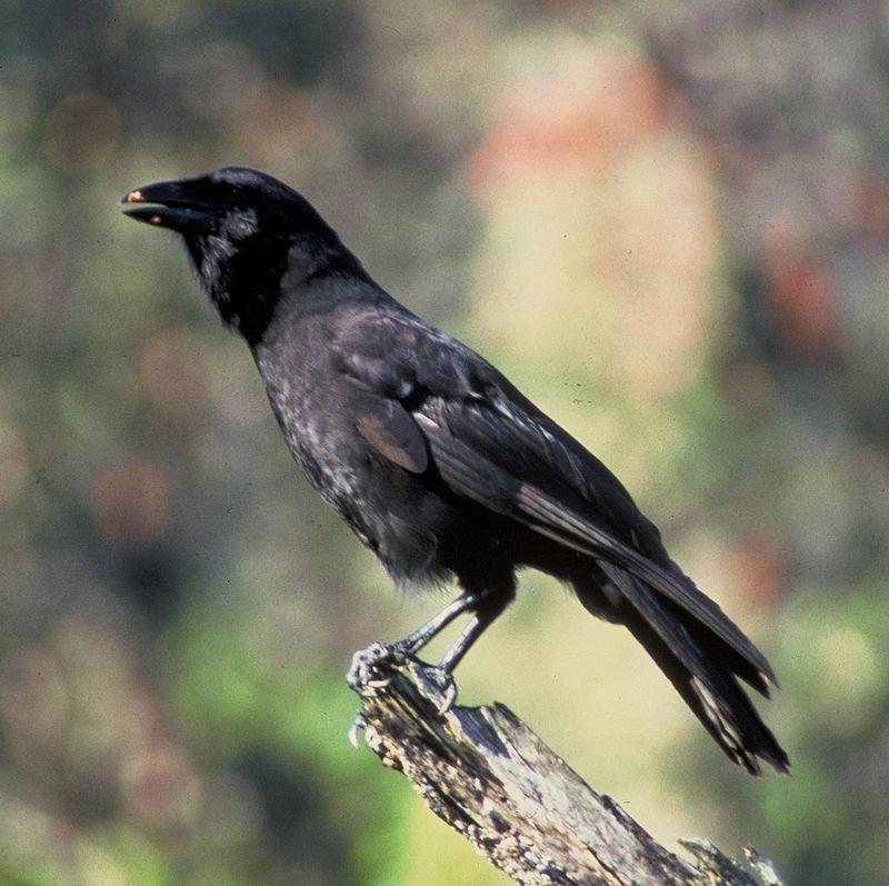 Corvo havaiano