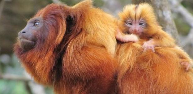 A febre amarela chegou à única região do país onde o mico-leão-dourado ainda vive na natureza