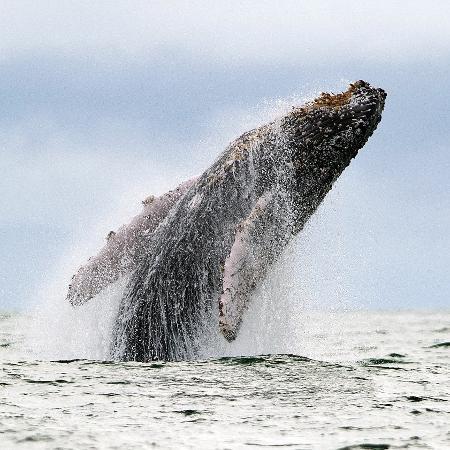 Baleia nada no oceano pacífico em migração anual para a Antártida - Luis Robayo / AFP