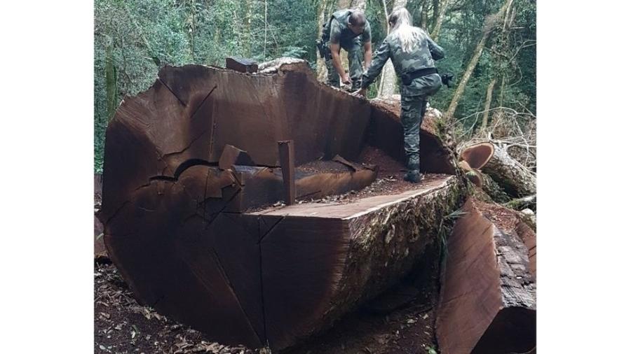 """""""É um problema cultural do nosso país, onde as pessoas não sabem o valor de uma árvore"""", diz especialista sobre derrubada de imbuia, espécie que é símbolo de Santa Catarina - Polícia Militar Ambiental de SC"""