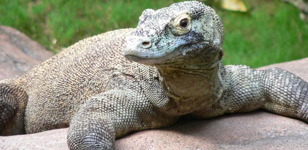 Indonésia: dragão-de-komodo ataca operário em resort ...
