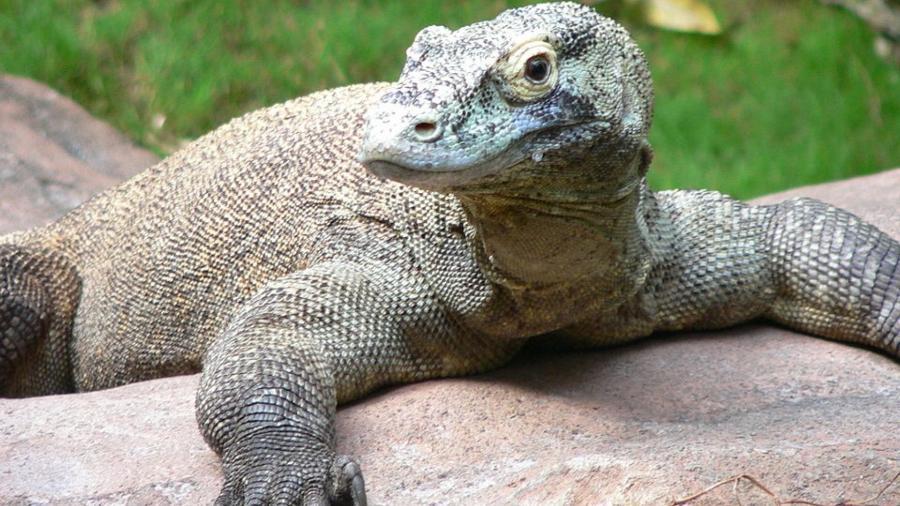 Imagem ilustrativa de dragão de komodo; um trabalhador na Indonésia foi atacado por um desses animais - Wikimedia Commons