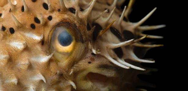 Seres humanos compartilham os mesmos genes para os dentes que os peixes baiacus, animais que cuja dentição é regenerada constante e infinitamente