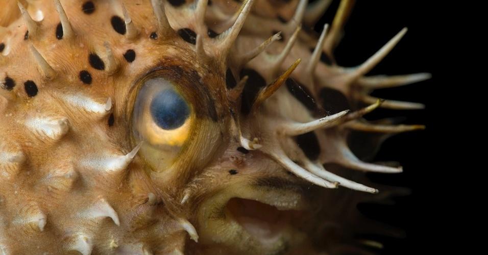 1º.nov.2015 - Prestes a explodir. O baiacu-de-espinhos pode armazenar água ou ar para inflar seu corpo e afastar os predadores
