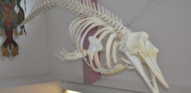 Esse esqueleto é de uma baleia encontrada em 2004 nas Ilhas Aleutas, no Alasca. Até agora não se sabia qual era a espécie desse mamífero aquático, mas cientistas descobriram que ela é da mesma espécie de uma outra baleia encontrada morta dez anos depois na ilha de St. George, também no Alasca