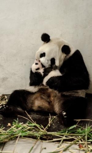 1º.ago.2016 - Bebê panda recebe o carinho da mãe em um parque de vida selvagem na Bélgica
