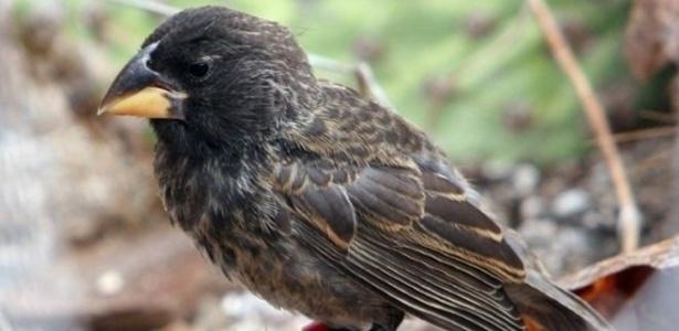 Representante da nova espécie, gerada pelo cruzamento de duas espécies distintas da ave