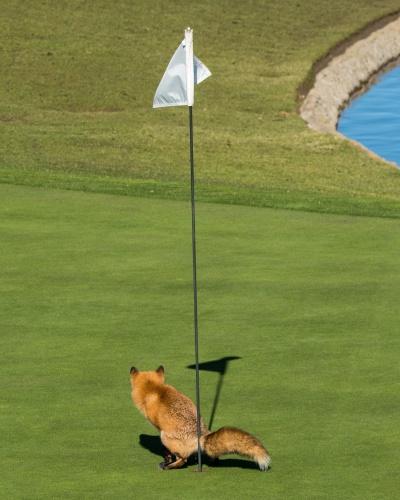 Aperto - A raposa apertada conseguiu um lugar para alívio em um campo de golfe em San Jose, nos EUA