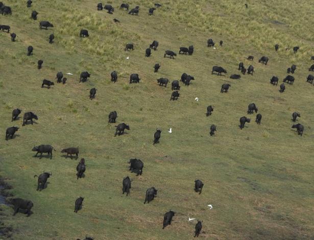Imagem de arquivo mostra uma manada de búfalos perambulando pelo distrito de Chobe, norte de Botsuana