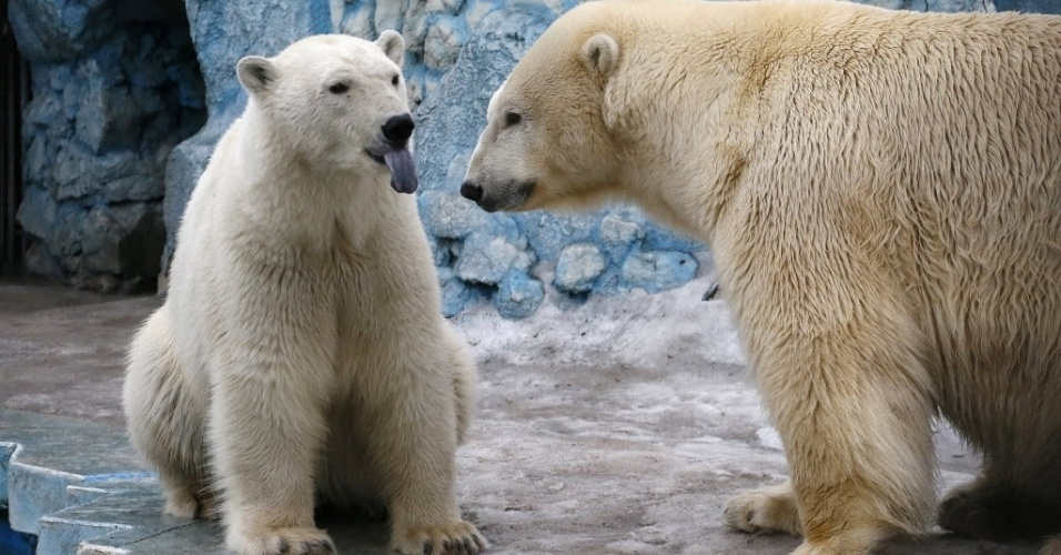 29.mar.2016 - Um casal de ursos polares, Felix (à esq.), 9, e Aurora, 6, vive no zoológico de Royev Ruchey em Krasnoyarsk, na Sibéria, Rússia