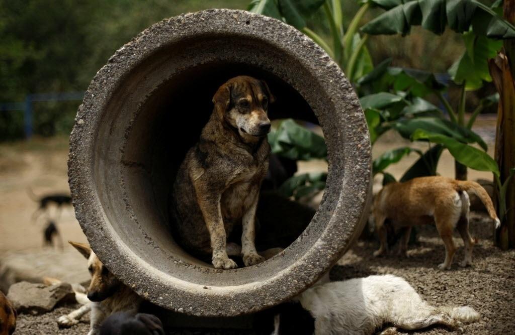 """29.abr.2016 - Em 2003, a Costa Rica tornou ilegal a eutanásia de animais, o que fez com que o número de cães abandonados aumentasse no país. Mais de um milhão de cachorros ficaram desabrigados. O santuário de cães no território de Zaguates, também chamado de """"Terra dos Abandonados"""", acolheu cerca de 8 mil desses cães para tirá-los das ruas e garantir uma boa vida"""