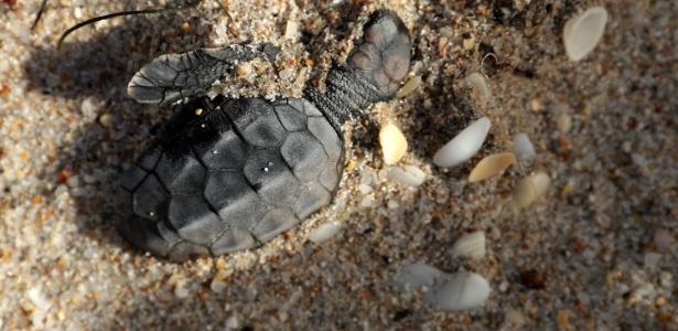 Mais de 90% dos ninhos das tartarugas marinhas foram destruídos pela tempestade - Chip Somodevilla / Getty Images / AFP