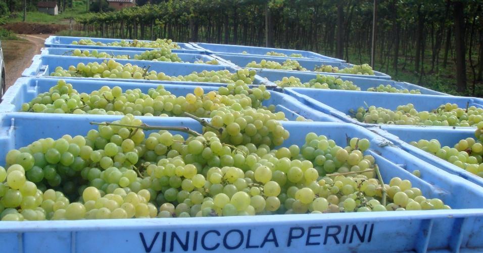 A vinícola recebe as uvas em caixas de 20 quilos e faz o desengasse (retirada do cabinho) das uvas
