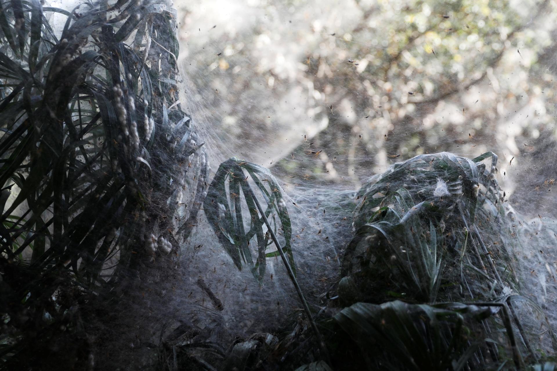 8.nov.2017 - Armicach conta que milhares de aranhas de mandíbulas longas criaram a teia que envolve a floresta, fenômeno raramente visto no Oriente Médio