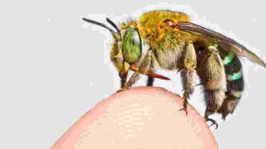 Existem milhares de espécies de abelhas, desde as menores até algumas do tamanho de um polegar - Zestin Soh