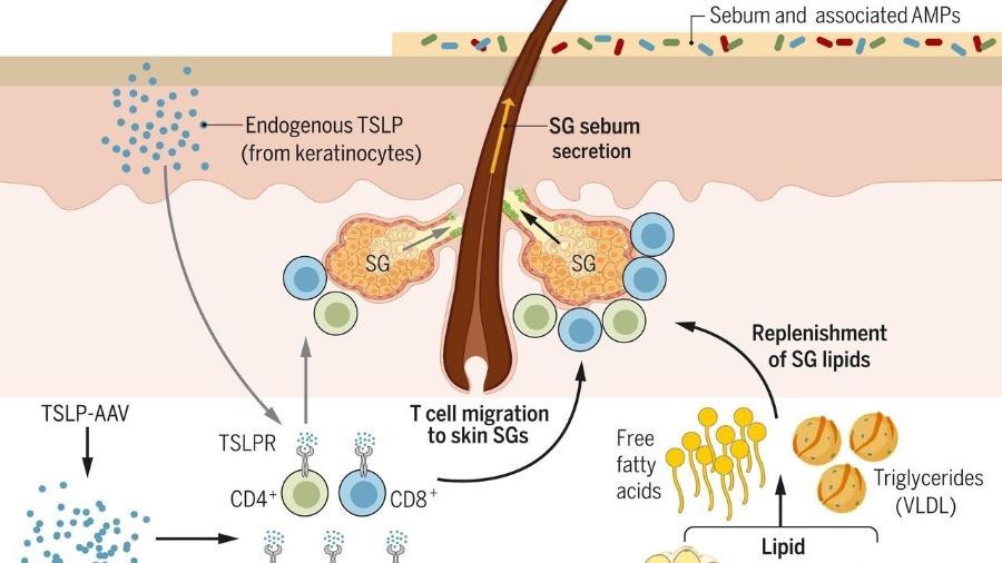 A citosina TSLP ativa as células T para promover a secreção de sebo - Divulgação/Biorender