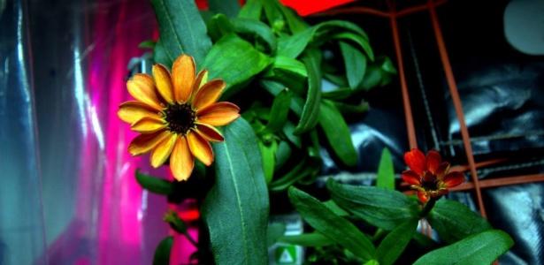 É a primeira vez que as flores, do gênero das zinias, se abrem fora da gravidade da Terra