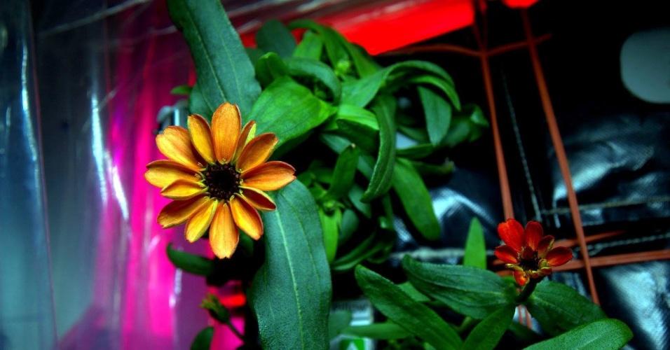 20.jan.2016 - A agência espacial americana (Nasa) apresentou nesta terça-feira (19) as fotos da primeira flor que cresceu na Estação Espacial Internacional (ISS) como parte de um experimento de dois anos para cultivar plantas no espaço