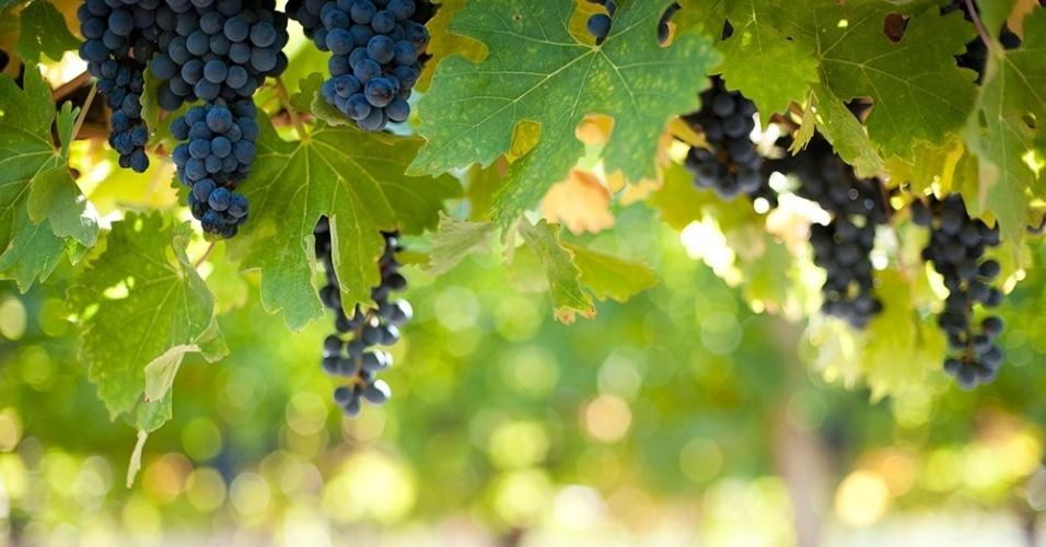 14.mar.2016 - Antes do vinho. Cachos de uvas malbec pendem de videiras no vale Uco, na Argentina. O país é o quinto maior produtor de vinhos do mundo, com os malbec liderando as vendas