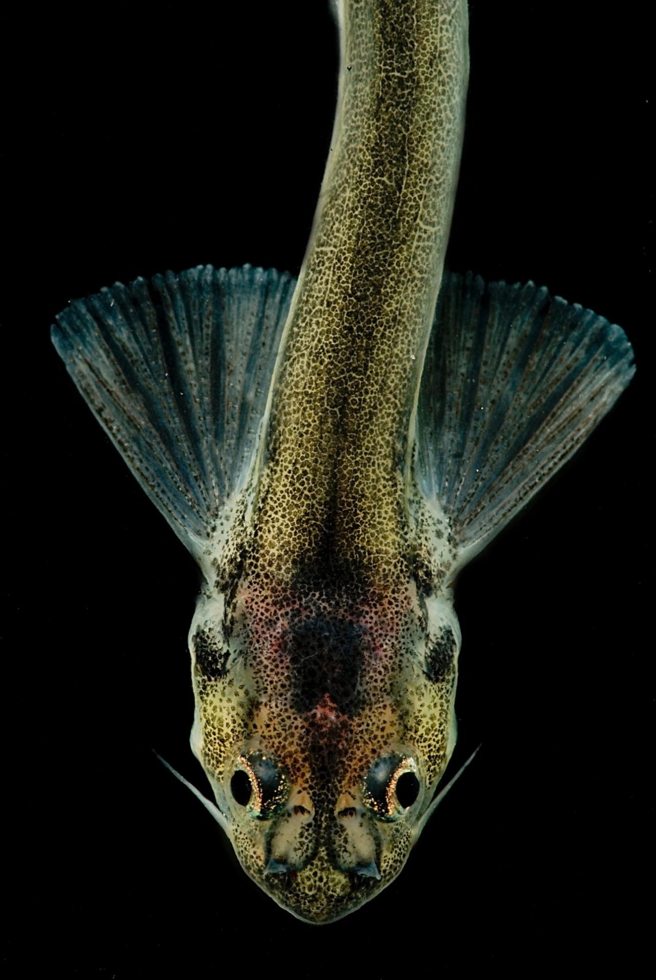 5.jul.2016 ? Entre as imagens de animais que vivem no escuro e em águas profundas está o candiru, uma espécie típica da bacia amazônica e do rio Napo, no Peru