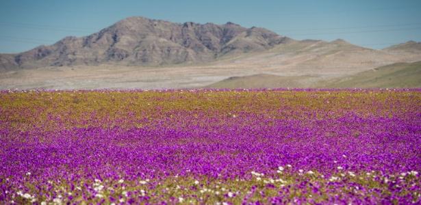 Flores desabrocham e dão cores ao deserto do Atacama, na região de Huasco, no Chile - Martin Bernetti/AFP