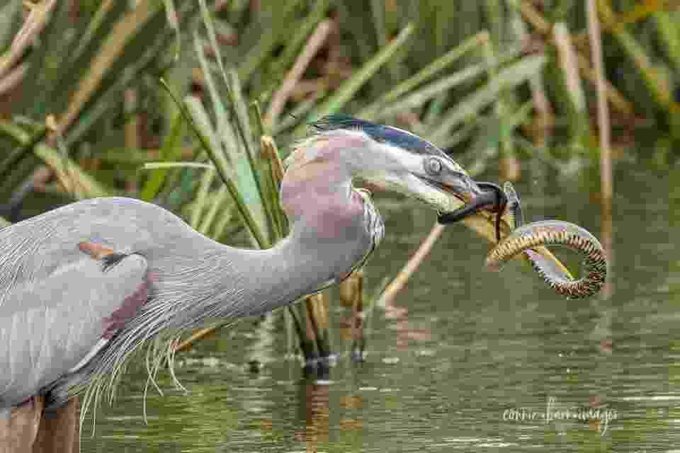 Pássaro ataca cobra que tenta se defender em flagrante registrado por uma visitante a parque no Texas - Reprodução Facebook