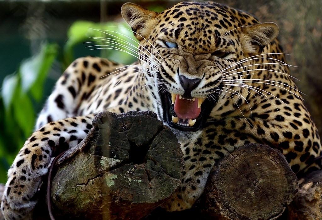 3.mar.2016 - Um leopardo cego de um olho mostra os dentes ao ser fotografado no zoológico de Dehiwala, no Sri Lanka
