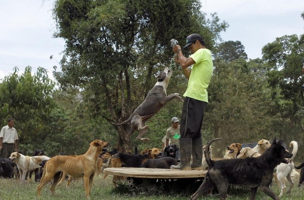 """29.abr.2016 - Johnny Jarquin é um dos cuidadores que brinca com os animais em um santuário canino na Costa Rica. O abrigo, apelidado de """"Terra dos Abandonados"""", acolhe cachorros de ruas e os deixa livres para correr em um território de 152 hectares"""