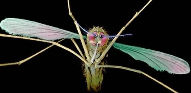 O vetor da Malária