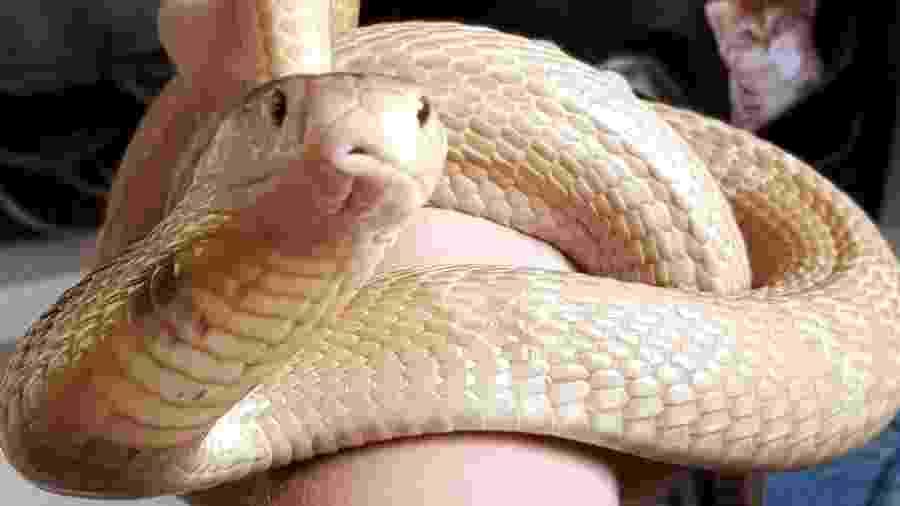A cobra naja criada ilegalmente por Pedro Henrique Krambeck - Arquivo pessoal / Facebook
