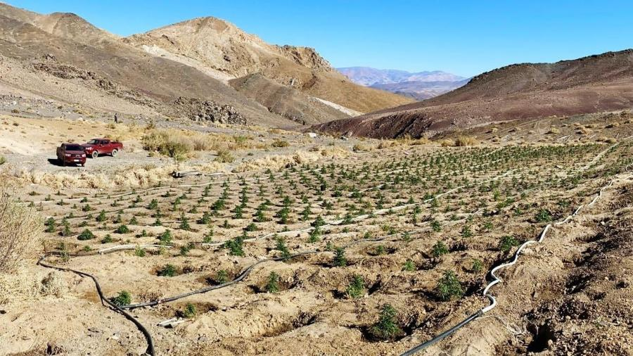 Plantação de maconha no Deserto do Atacama, no Chile  - Reprodução/@CarabIIIRegionTwitter