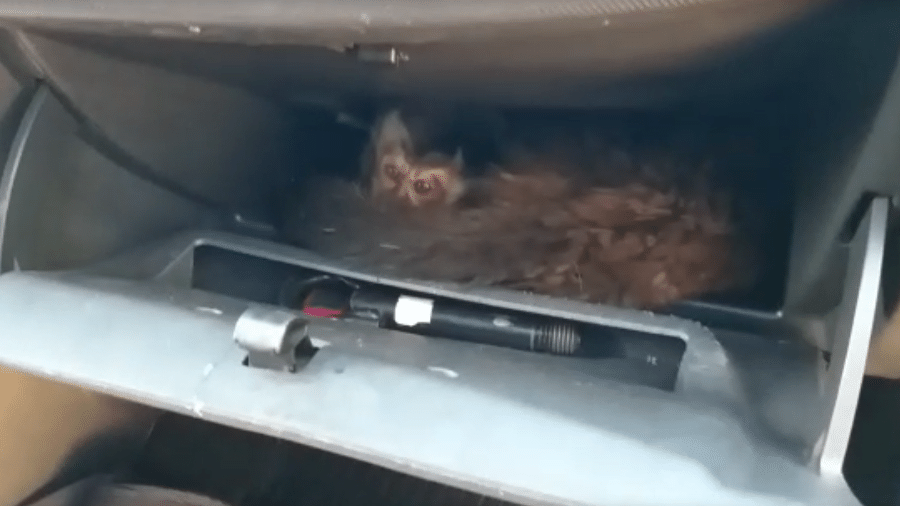 Macacos-prego estavam sendo transportados em porta-luvas de carro; condutora foi autuada - Divulgação/ Polícia Ambiental