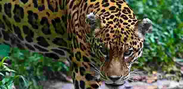 4.out.2016 - Uma onça-pintada no Peru. Caçadoras ágeis, elas farejam a presa em terra e água, ao contrário de outros felinos - Jason Edwards/National Geographic Creative - Jason Edwards/National Geographic Creative