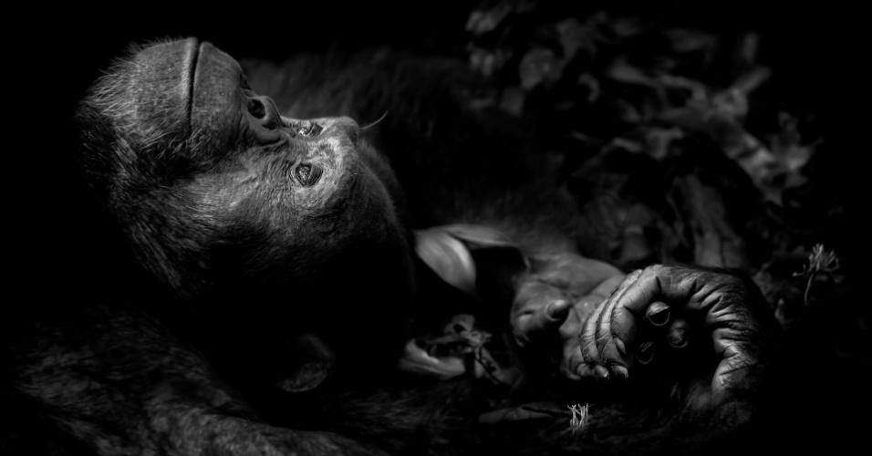 """A imagem batizada como """"Contemplação"""" foi tirada por Peter Delaney, de nacionalidade irlandesa e sul-africana. O chimpanzé descansando em uma floresta no Parque Nacional Kibale, em Uganda, ganhou o prêmio na categoria Retrato de Animais."""