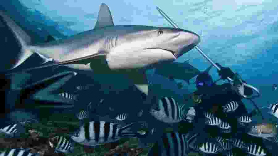 Tubarão nadando junto com peixes - Getty Images