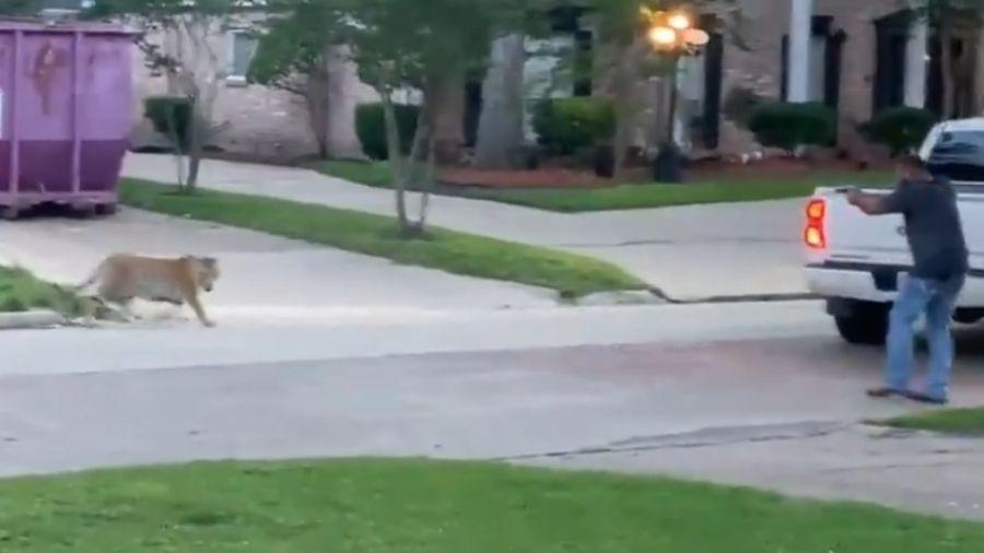 Policial aponta arma para tigre em Houston (EUA) - Reprodução/Twitter
