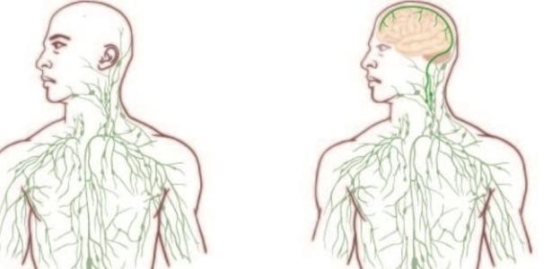 Até esta descoberta se acreditava que o cérebro era o único órgão importante sem vasos linfáticos e, por isso, separado do sistema imunológico. As imagens dos livros de anatomia geralmente mostram a formação de nódulos e vasos linfáticos como uma complexa teia em todo o corpo, com exceção do cérebro - Divulgação